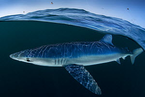 Blue shark (Prionace glauca) female off the coast of Portugal. August. - Luis  Quinta