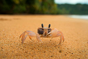 Ghost crab (Ocypode africana) on beach, Island of Principe, UNESCO Biosphere Reserve, Democratic Republic of Sao Tome and Principe, Gulf of Guinea  -  Luis  Quinta