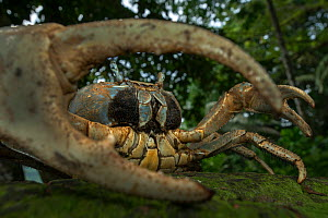 White forest crab (Cardisoma armatum) portrait, seen through claw, Island of Principe UNESCO Biosphere Reserve, Democratic Republic of Sao Tome and Principe, Gulf of Guinea. - Luis  Quinta