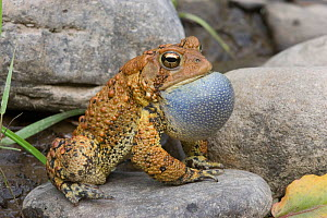 American toad (Bufo americanus) male calling,  vocal sac inflated, Philadelphia, Pennsylvania, USA. May. - Doug Wechsler