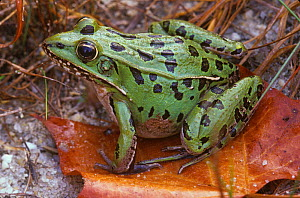 Southern Leopard Frog (Lithobates sphenocephalus) female, New  Jersey, USA.  -  Doug Wechsler