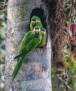 Yellow-plumed parakeets (Leptosittaca branickii) at nest cavity in wax palm stump, Tapichalaca Biological Reserve, Ecuador. - Doug Wechsler