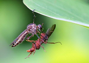 Robber fly (Asilidae) with male leafcutter ant prey, Jorupe Reserve, Ecuador.  -  Doug Wechsler