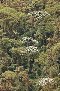 Cecropia trees (Cecropia sp) subtropical cloud forest, Tapichalaca Reserve, Ecuador.  -  Doug Wechsler