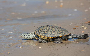 Diamondback terrapin (Malaclemys terrapin) female on beach, Delaware Bay, New Jersey, USA, June.  -  Doug Wechsler