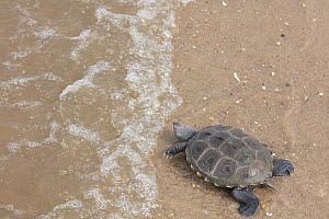 Diamondback terrapin (Malaclemys terrapin) on beach, Delaware Bay, New Jersey, USA, July.  -  Doug Wechsler