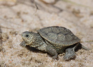 Diamondback terrapin (Malaclemys terrapin) hatchling, Cape May, New Jersey, USA.  -  Doug Wechsler