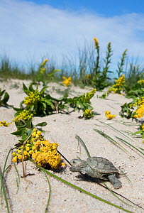 Diamondback terrapin (Malaclemys terrapin) hatchling, on sand dune, Cape May, New Jersey, USA.  -  Doug Wechsler
