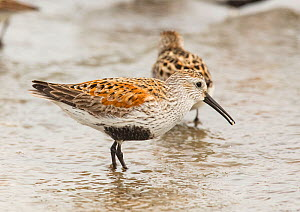 Dunlin (Calidris alpina) eating horseshoe crab egg, Delaware Bay, New Jersey, USA. May.  -  Doug Wechsler