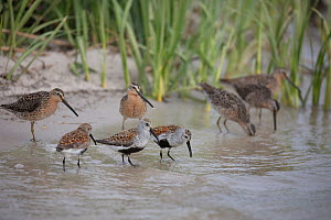 Dunlin (Calidris alpina) and  Short billed dowitcher (Limnodromus griseus) feeding on Horseshoe crabs (Limulus polyphemus) eggs, Delaware Bay, New Jersey. - Doug Wechsler