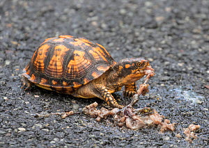 Eastern box turtle (Terrepene carolina) eating road kill amphibian; New Jersey, USA, May.  -  Doug Wechsler