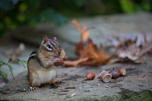 Eastern chipmunk (Tamias striatus) gathering white oak acorns in cheek pouch, Chestnut Hill, Philadelphia, Pennsylvania, USA, September.  -  Doug Wechsler