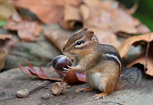 Eastern chipmunk (Tamias striatus) gathering chestnuts, Chestnut Hill, Philadelphia, Pennsylvania, USA, September.  -  Doug Wechsler