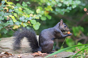 Eastern grey squirrel (Sciurus carolinensis) black morph foraging on white oak acorns, Chestnut Hill, Philadelphia, Pennsylvania, USA, September.  -  Doug Wechsler