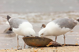 Herring gull (Larus argentatus) feeding on horseshoe crab;Delaware Bay, New Jersey, USA, May.  -  Doug Wechsler