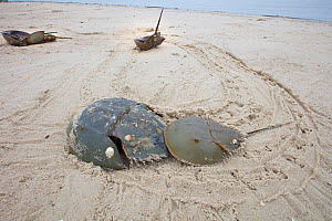 Horseshoe crab (Limulus polyphemus) pair mating with and tracks in beach, Delaware Bay, New Jersey, USA, May.  -  Doug Wechsler