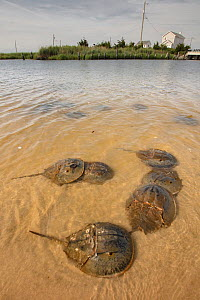 Horseshoe crab (Limulus polyphemus) males in shallows, Delaware Bay, New Jersey, USA, July  -  Doug Wechsler