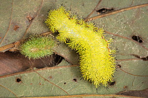 Io moth caterpillar (Automeris io) with shed exuvium, Pennsylvania, USA, September. - Doug Wechsler