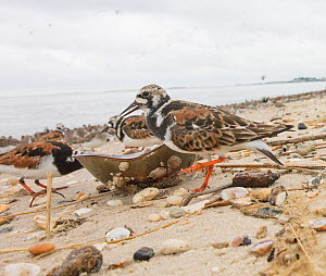 Ruddy turnstone (Arenaria interpres) feeding on dead horseshoe crab, Delaware Bay, New Jersey, May.  -  Doug Wechsler