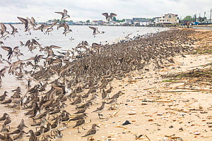 Dunlin (Calidris alpina), Semipalmated sandpipers  (Calidris pusilla) and Short-billed dowitcher (Limnodromus griseus) feeding on horseshoe crab eggs, Delaware Bay, New Jersey, USA, May.  -  Doug Wechsler