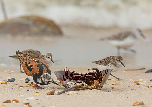 Ruddy turnstone (Arenaria interpres) feeding on dead horseshoe crab on beach, with Semipalmated sandpipers (Calidris pusilla) in background, Delaware Bay, New Jersey, May.  -  Doug Wechsler