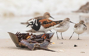 Ruddy turnstone (Arenaria interpres)  eating horseshoe crab on beach, with Semipalmated sandpipers (Calidris pusilla) in background, Delaware Bay, New Jersey, May.  -  Doug Wechsler