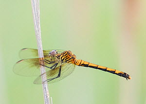 Seaside dragonlet (Erythrodiplax berenice)  Delaware Bay, New Jersey, USA, July.  -  Doug Wechsler