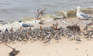 Red knots (Calidris canutus) Ruddy turnstones (Arenaria interpres) and Semipalmated sandpipers (Calidris pusilla) Franklin's gull (Leucophaeus pipixcan) and juvenile Herring gulls (LEucophaeus atricil...  -  Doug Wechsler