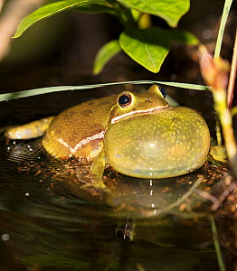 Barking treefrog (Hyla gratiosa) calling, vocal sac inflated,  Blackbird State Forest, Delaware, USA, May.  -  Doug Wechsler