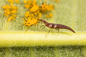 Brown lacewing (Hemerobiidae) larva feeding on Oleander Aphid (Aphis nerii) Philadelphia, USA, June.  -  Doug Wechsler