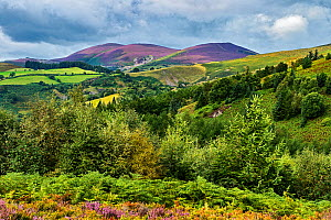 Llantysilio Mountain and Maesyrychem Mountain showing the colour of Heather (Calluna vulgaris) viewed from Worlds End on Ruabon Mountain, near Wrexham, North Wales, UK, August 2017.  -  Alan  Williams