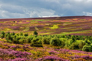 Ruabon Mountain looking southeast from Worlds End showing patches cut for Heather (Calluna vulgaris) management, North Wales, UK, August 2017.  -  Alan  Williams