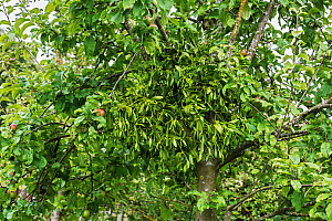 Mistletoe (Viscum album) growing on Apple tree (Malus domestica) in orchard Cheshire, England, UK, August. - Alan  Williams