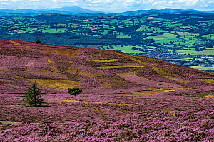 Slopes of Moel Famau mountain showing patches cut for Heather (Calluna vulgaris) management with the Vale of Clwyd in the background Clwydian Range, North Wales, UK, August 2016.  -  Alan  Williams