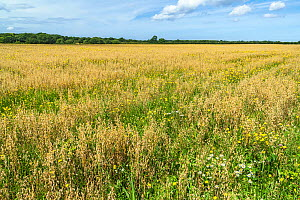 Oat (Avena sativa) crop on organic farm with wildflowers growing amongst the crop, Cheshire, UK, August 2017.  -  Alan  Williams