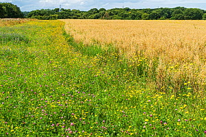 Field margin sown with wild flowers growing beside a crop of Oats (Avena sativa) on organic farm, Cheshire, UK, August 2017.  -  Alan  Williams