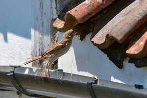 House sparrow (Passer domesticus) female hopping up from a roof gutter to its nest entrance under old tiles with insect prey for its chicks, Wiltshire, UK, June.  -  Nick Upton