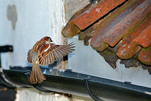 House sparrow (Passer domesticus) male flying to its nest site under old roof tiles on a cottage carrying nest material in its beak, Wiltshire, UK, June. - Nick Upton
