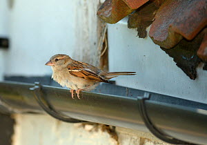 House sparrow (Passer domesticus) female perched on a cottage roof gutter near the entrance to its nest under old tiles, Wiltshire, UK, June. - Nick Upton