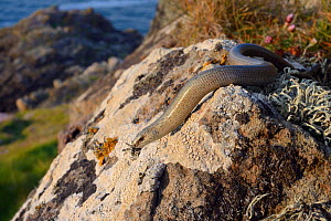Slow worm (Anguis fragilis) sunning on a lichen covered boulder on coastal clifftop grassland, Cornwall, UK, May.  -  Nick Upton