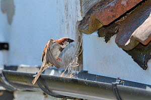 House sparrow (Passer domesticus) male flying to its nest entrance under old tiles with insect prey to feed its chicks with, Wiltshire, UK, June.  -  Nick Upton