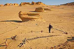 Man looking at fossilized whale at Wadi El Hitan (Whale Valley) Wadi Hitan National Park UNESCO World Heritage Site, Egypt. November 2008.  -  Louis-Marie Preau
