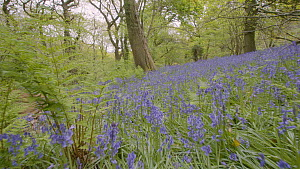 Tracking shot of Common bluebells (Hyacinthoides non-scripta) flowering in woodland, Prior's Wood Avon Wildlife Trust Reseve, Bristol, England, UK, May.  -  Michael Hutchinson