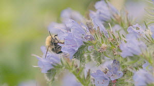 Slow motion clip of a Common carder bumblebee (Bombus pascuorum) feeding from a Viper's bugloss (Echium vulgare) flower, Bristol, England, UK, September. - Michael Hutchinson