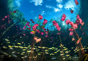 RF - Banded tetras (Astyanax aeneus) swimming  through a stand of Water lilies (Nymphaea mexicana) growing in a cenote (a freshwater sink hole) beneath trees. Carwash Cenote, Aktun Ha Cenote, Tulum, Q... - Alex Mustard