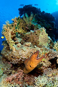 RF - Yellowmargin moray (Gymnothorax flavimarginatus) yawning as it extends out from an outcrop on a coral reef. Ras Mohammed National Park, Egypt. Red Sea. (This image may be licensed either as right...  -  Alex Mustard