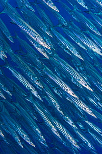 RF - School of blackfin barracuda (Sphyraena qenie) in open water off the wall of  Yolanda Reef, Ras Mohammed Marine Park,  Egypt. Red Sea. (This image may be licensed either as rights managed or roya...  -  Alex Mustard