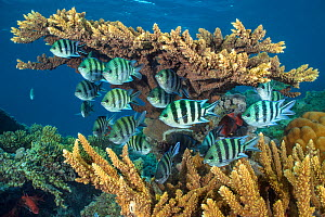 RF - Scissortail sergeants fish (Abudefduf sexfasciatus) sheltering beneath hard coral (Acropora sp.) in the evening on a coral reef,  Red Sea. (This image may be licensed either as rights managed or...  -  Alex Mustard