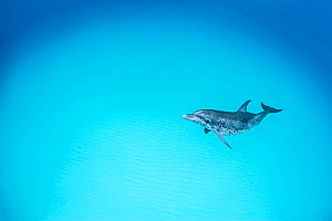 RF - Atlantic spotted dolphin (Stenella frontalis) over a shallow sand bank. Sandy Ridge, Little Bahama Bank, Bahamas. Tropical West Atlantic Ocean. (This image may be licensed either as rights manage... - Alex Mustard