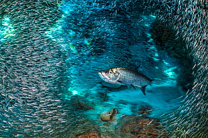 RF - Tarpon fish (Megalops atlanticus) hunting Silversides (Atherinidae) inside a coral cavern.  Cayman Islands, Caribbean Sea. (This image may be licensed either as rights managed or royalty free.) - Alex Mustard